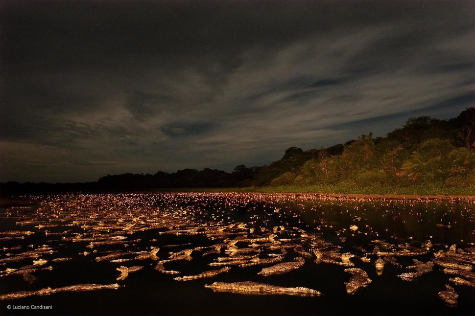 「眼鏡凱門鱷的夜晚(攝影:Luciano Candisani)