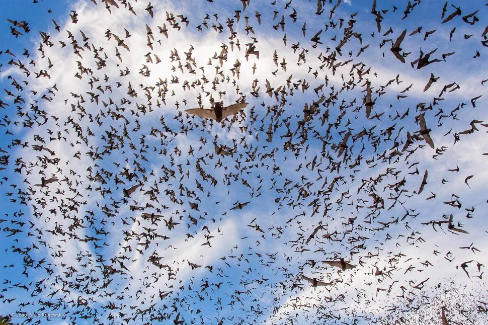 「蝙蝠慶典」(攝影:João Paulo Krajewski)