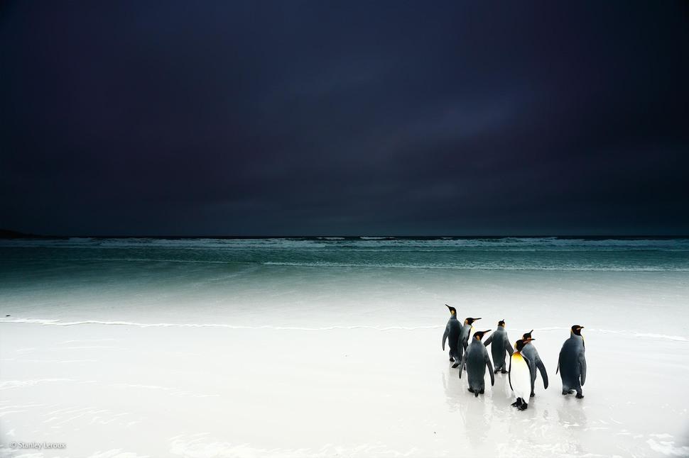「走向黑暗的國王企鵝」 (攝影: Stanley Leroux)