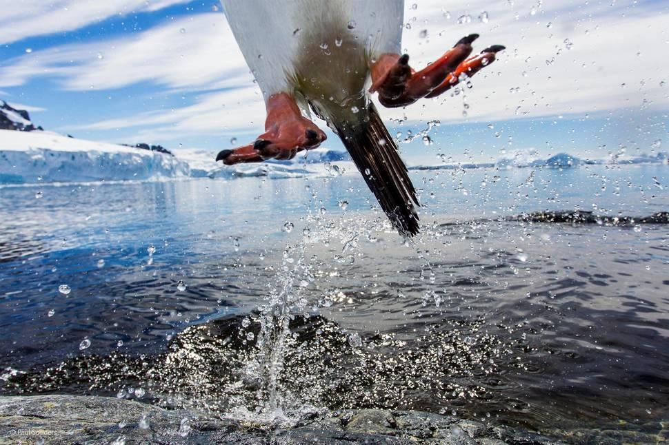 「跳躍的巴布亞企鵝」(攝影: Paul Souders)