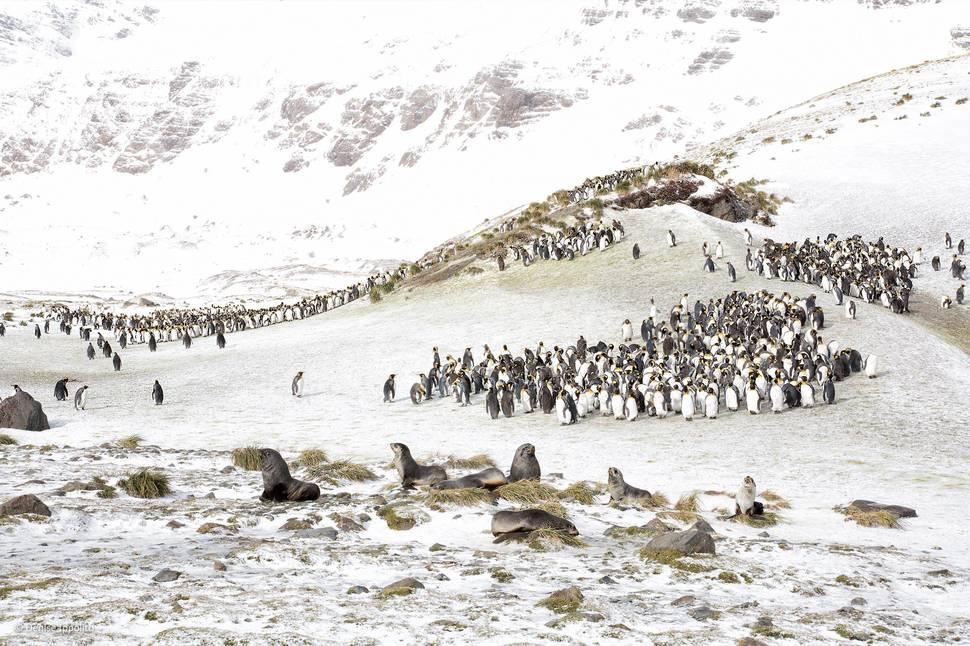 「國王企鵝和海狗」(攝影: Denise Ippolito)