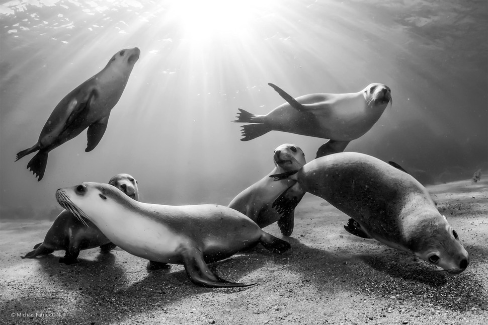 「澳洲小海獅」(攝影: Michael Patrick O'Neill)