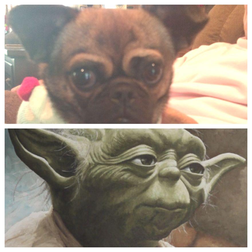 Chuy Vs. Yoda