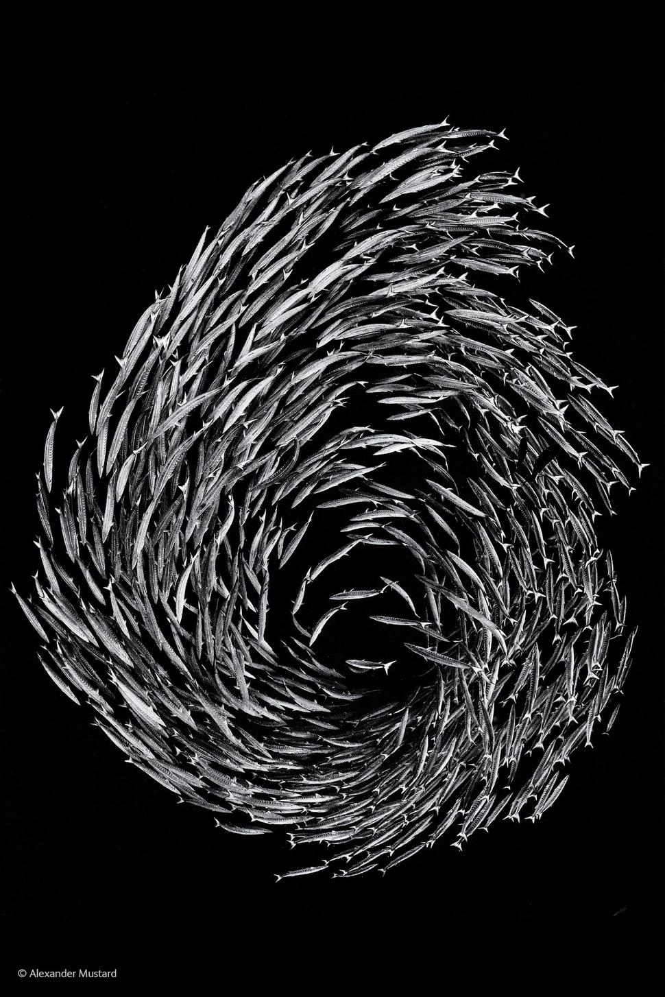 「梭子魚漩渦」(攝影:Alexander Mustard)