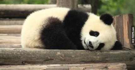 這隻聰明的熊貓「假裝」懷孕了,就為了可以騙吃騙喝!
