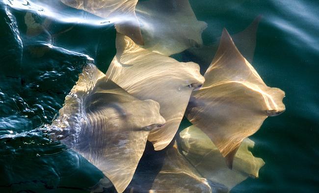 他們通常會以10,000隻最為一群組,在遷徙的時候,會讓海面呈現一片金黃。