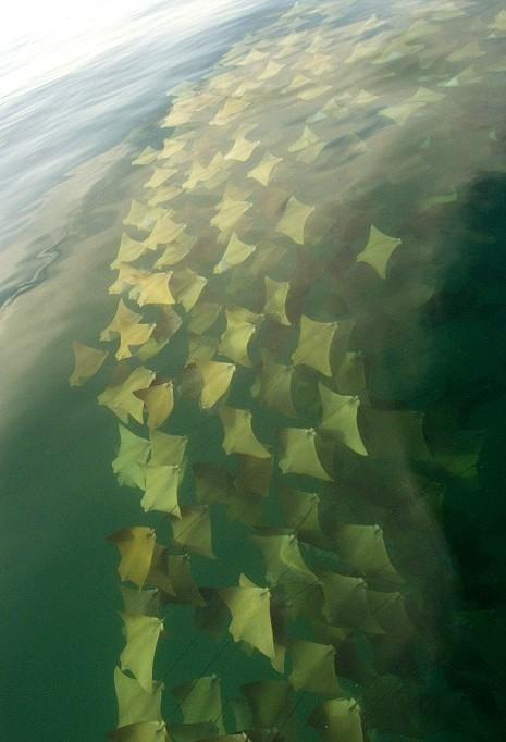 這是壯觀的黃金魟魚大遷徙。