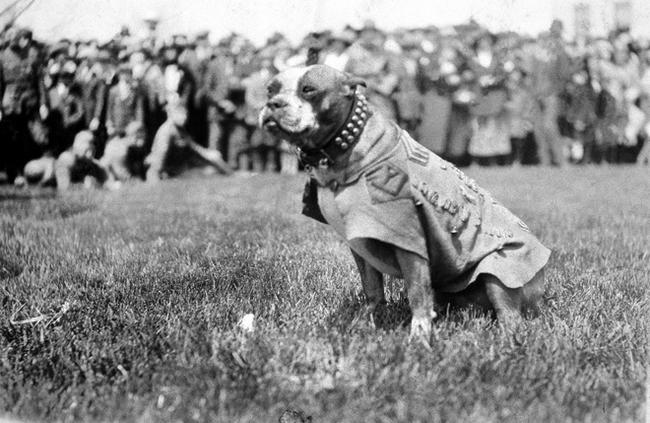 6. Stubby是在一次世界大戰(WWI)中獲得軍階的狗狗,他無數次地讓軍團免於芥子毒氣、間諜的侵擾,他也會安慰傷患。