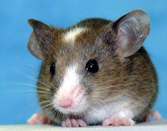 3. 科學家使用老鼠的皮膚來製作幹細胞,然後用來製造可以生出健康老鼠的老鼠卵子,這些老鼠之後可以靠他們自己繁殖。