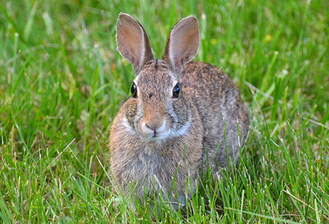 17.) In 1952, a European scientist released a bacterium into the wild which almost eradicated the continent's rabbit population. There was a 90% reduction in France and 95% in the UK.