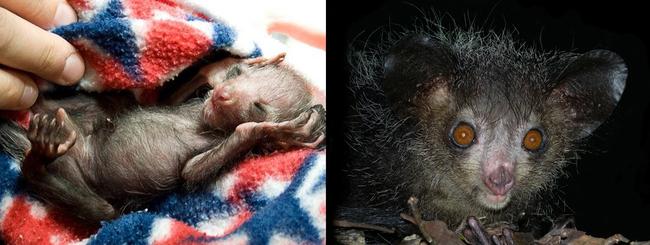 7. 指猴(Aye Aye)也從可愛的小動物,變成瞪死人不償命的動物了...