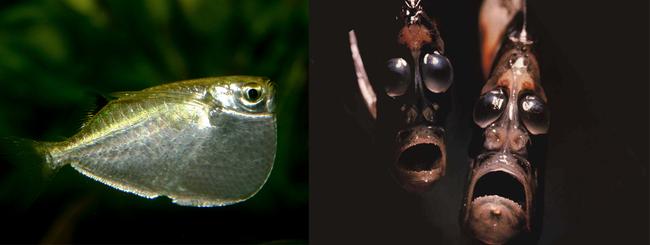 4. 星光魚(Hatchetfish),你到底經歷了多黑暗的成長過程啊?(抱)
