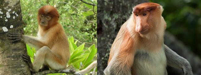 9. 長鼻猴(Proboscis Monkey)小時候可以這麼無辜,長大為什麼這麼尖酸刻薄呢?一定是鼻子害的!