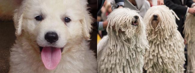 3. 可蒙狗(Komondor)小的時候超可愛,但之後髮型就開始不乖了...