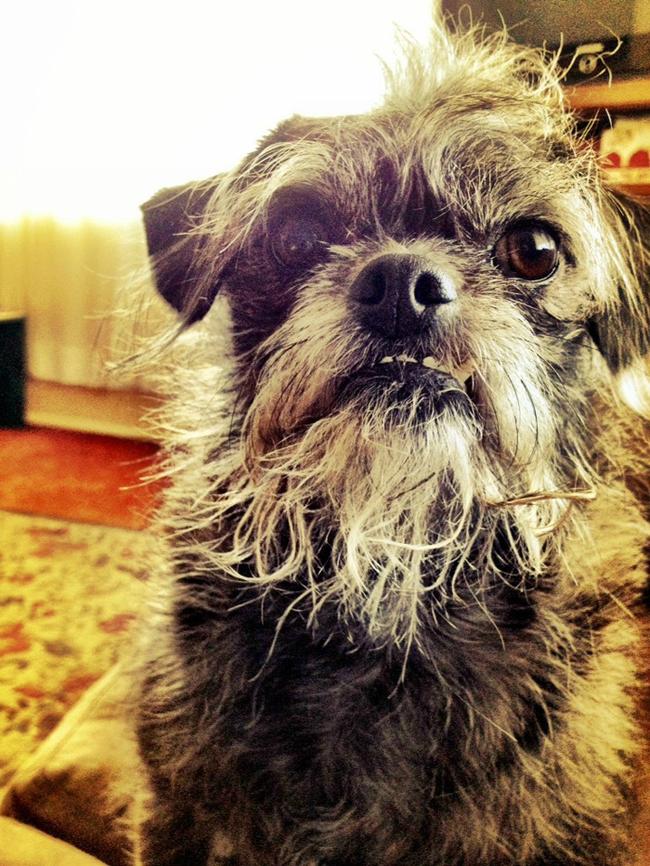 11. 巴哥和贵宾狗