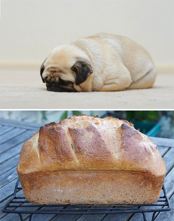 Pug Looks Like A Loaf Of Bread
