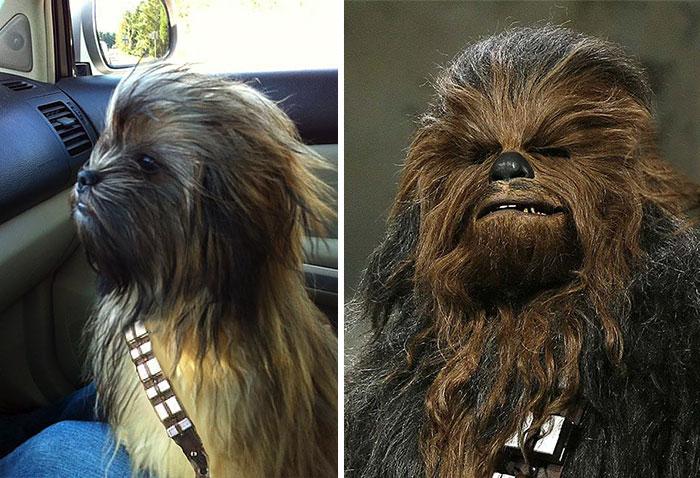 2. 狗狗和《星際大戰》(Star War)丘巴卡(Chewbacca)