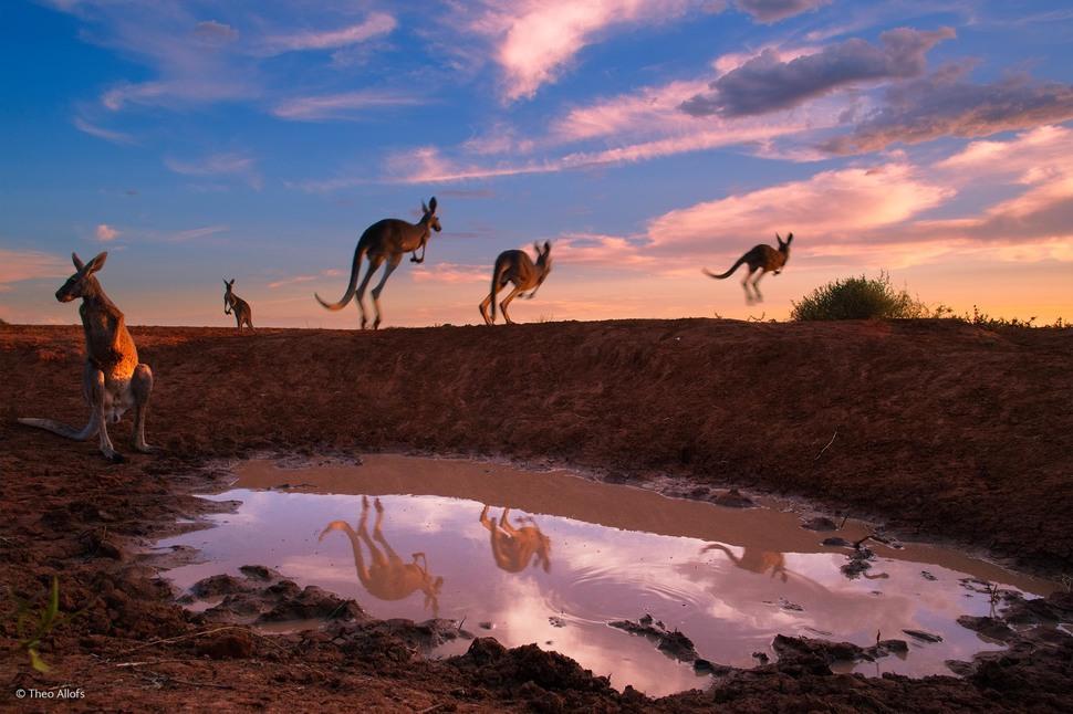 「水坑的紅大袋鼠」(攝影: Theo Allofs)