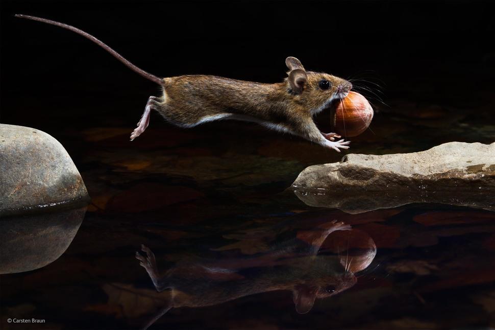 「黃頸鼠」(攝影: Carsten Braun)