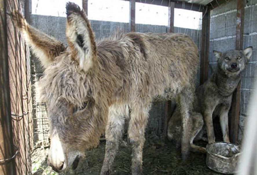 這隻退休的老驢子被丟到狼的籠子裡,想讓他變成狼食。但是接下來發生了最讓人意想不到的事情!