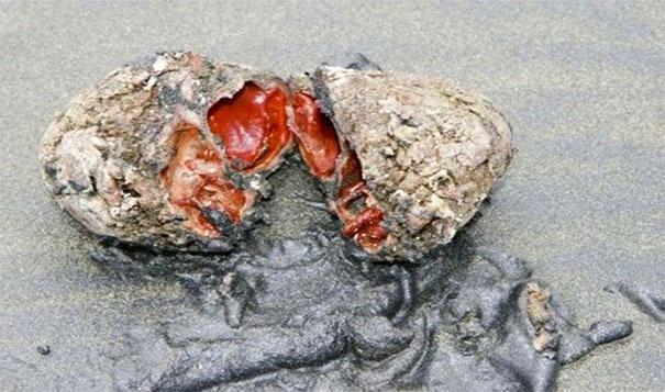 25. 活著的石頭:智利這個看似石頭的生物,其實是叫做「鋼纖海鞘」的一種生物。