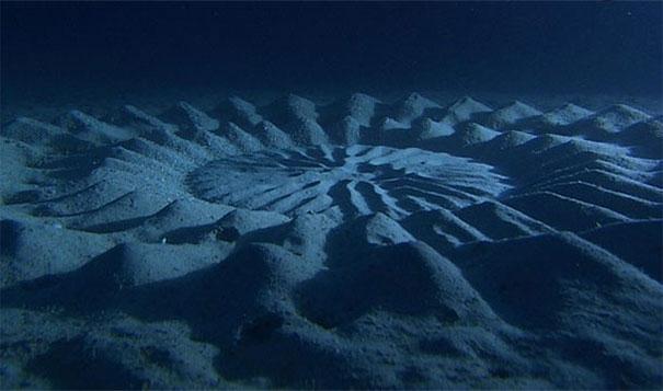 23. 水底的麥田圈:在日本,公河豚會做出這樣的形狀作為求偶的儀式。