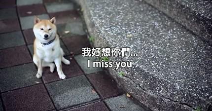 這隻可愛的柴犬被遺棄。他在流浪時的內心世界讓我的心好痛。
