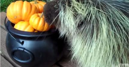 這隻小豪豬在吃南瓜的時候興奮到...居然開口說話?!