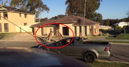 有人在澳洲街上拍到會讓人揉眼睛的景象...你說兩隻袋鼠在做什麼?!