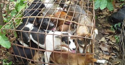 記者去現場直擊越南狗肉屠宰場,沒想到直接目擊到讓人想要直接殺過去的罪行。