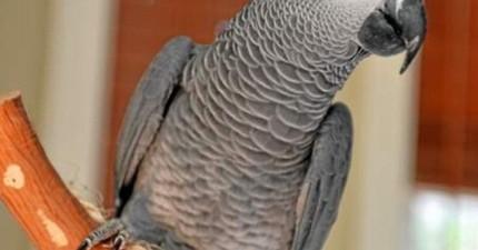 本來會說流利英國腔英語的鸚鵡Nigel飛失。4年後找回家時,居然滿口西班牙語?!