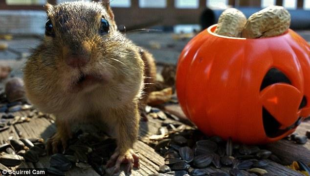 這些貪心的花栗鼠不知道嘴裡不能塞這個多的食物嗎,都不知道這樣已經萌死多少人了呢