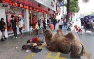 中國乞丐找來沒蹄駱駝一起乞討看似很新奇,但你應該要知道他們背後的恐怖陰謀!