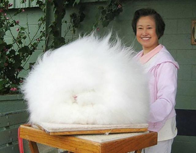 23. 全世界最毛茸茸的兔子。