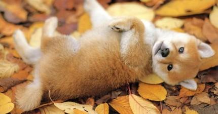 這30隻爆可愛柴犬串通起來把你的心偷走。看完後我只可以說:「請偷走吧!」