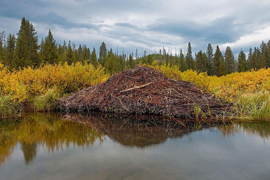 河狸 (Beavers)