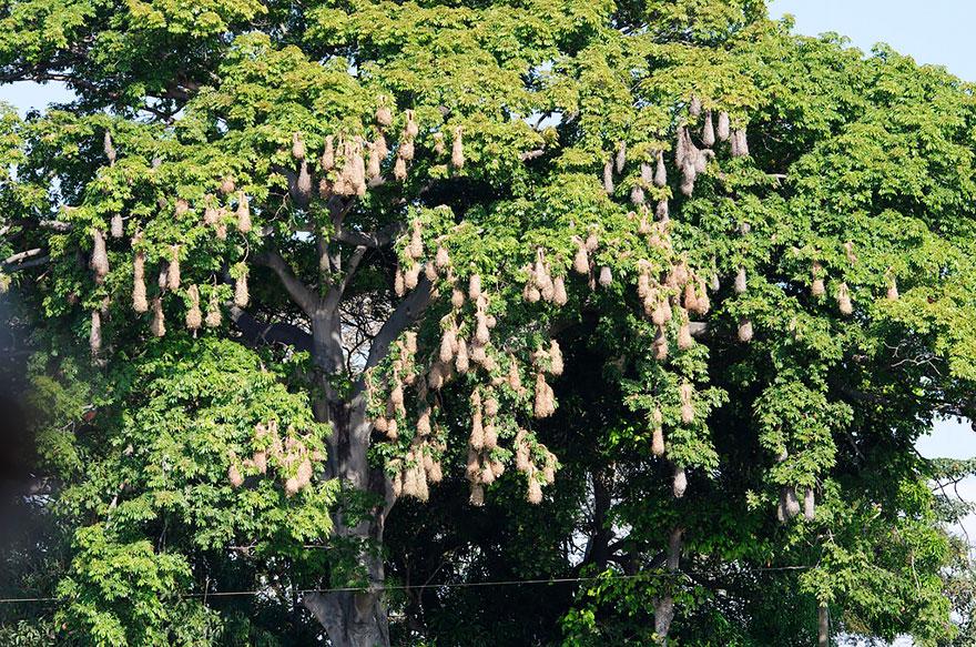 褐色擬椋鳥 (Montezuma Oropendola)