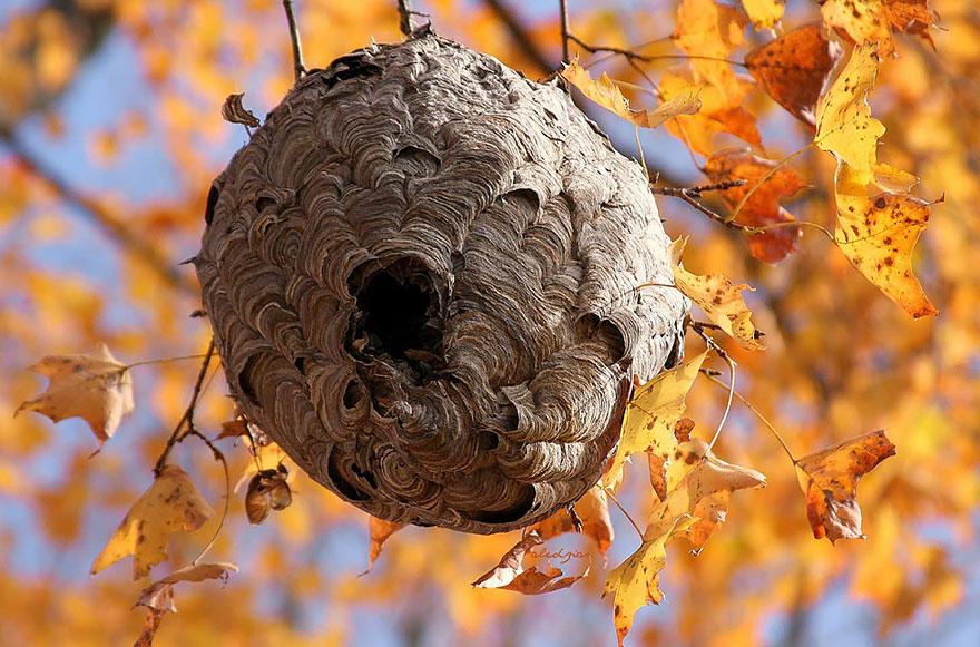 黃蜂 (Wasp)