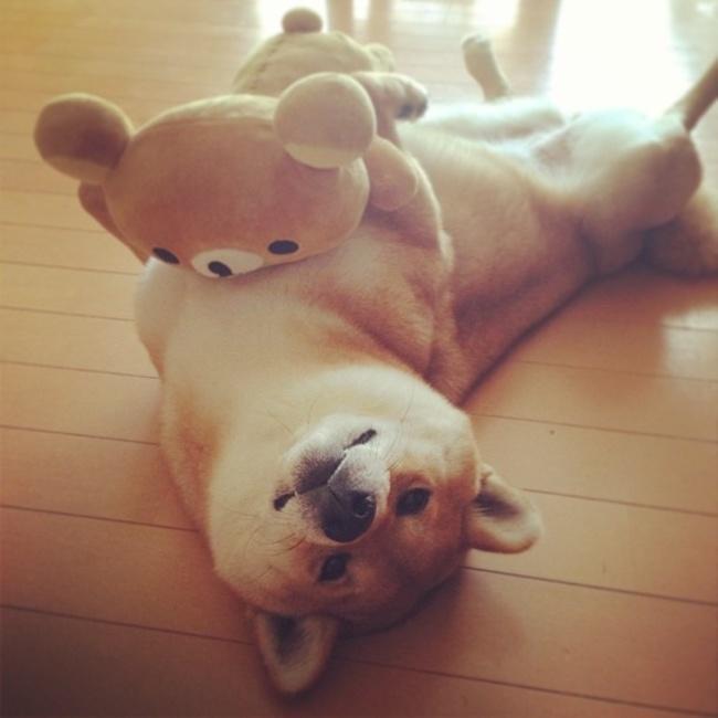 這隻阿柴有個熊朋友。