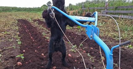 農田中這名黝黑的農夫,氣喘吁吁地認真工作。等等...他不是人類啊?!