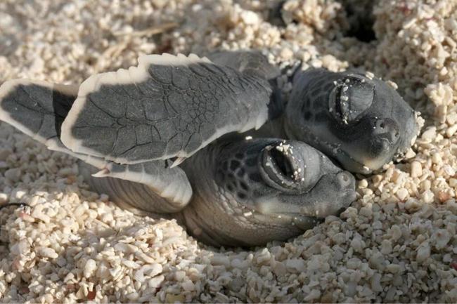 相互依偎的小海龟。