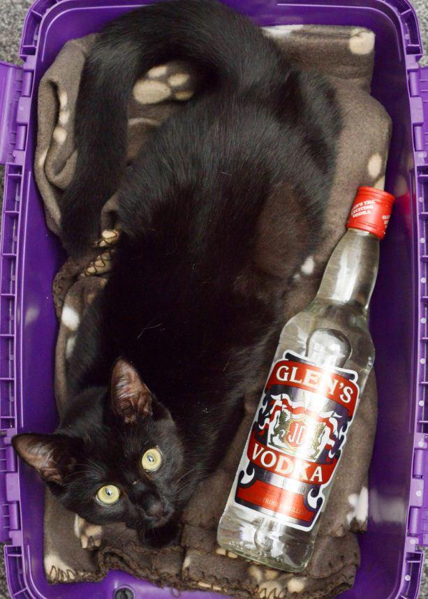 這隻可愛的貓咪被虐待生命垂危,沒想到是伏特加酒救了她一命!