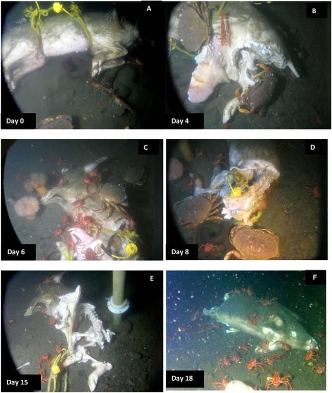 科學家讓你看到屍體被丟進海中後會發生的恐怖事情...難怪黑幫丟屍體進海裡時都會給他們穿水泥鞋!