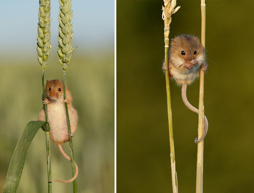 你看到這些老鼠是會尖叫,但那是因為他們可愛到讓你忍不住尖叫!