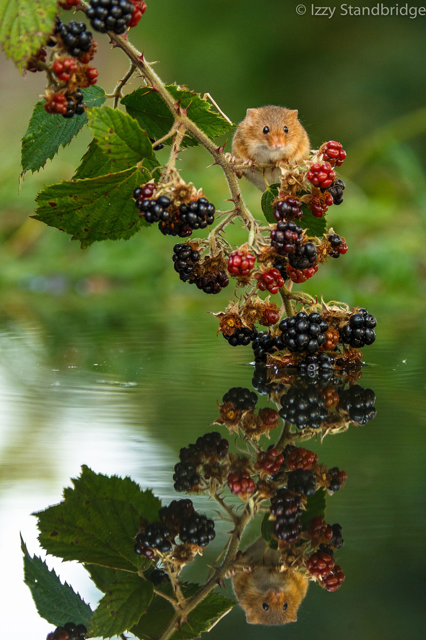 wild-mouse-photography-41