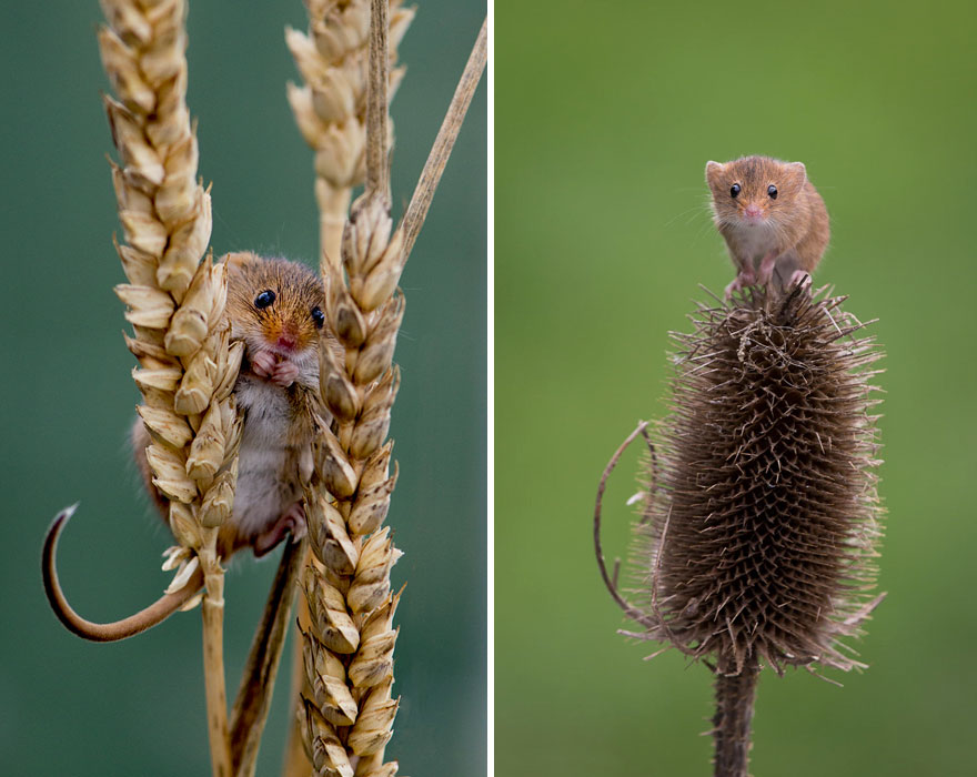 wild-mouse-photography-49