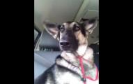 這隻德國牧羊犬的耳朵比大多數的人都還要會跳舞。