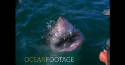 大白鯊忽然出現在你身邊的話,絕對不要做這名男子做的事情。