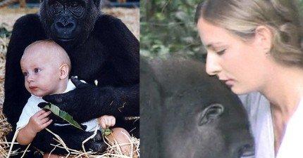 她已經12年沒見被放生的136公斤猩猩家人。原先擔心會有危險,但猩猩的溫馨反應證明她想太多了!