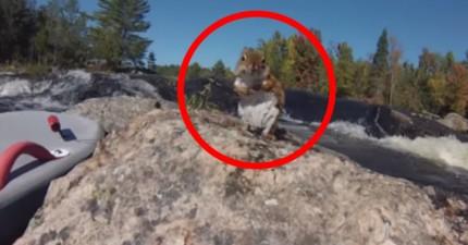 落難小松鼠受困在湍急的河中央,看看這個帥哥如何在最驚險的情況下拯救他!